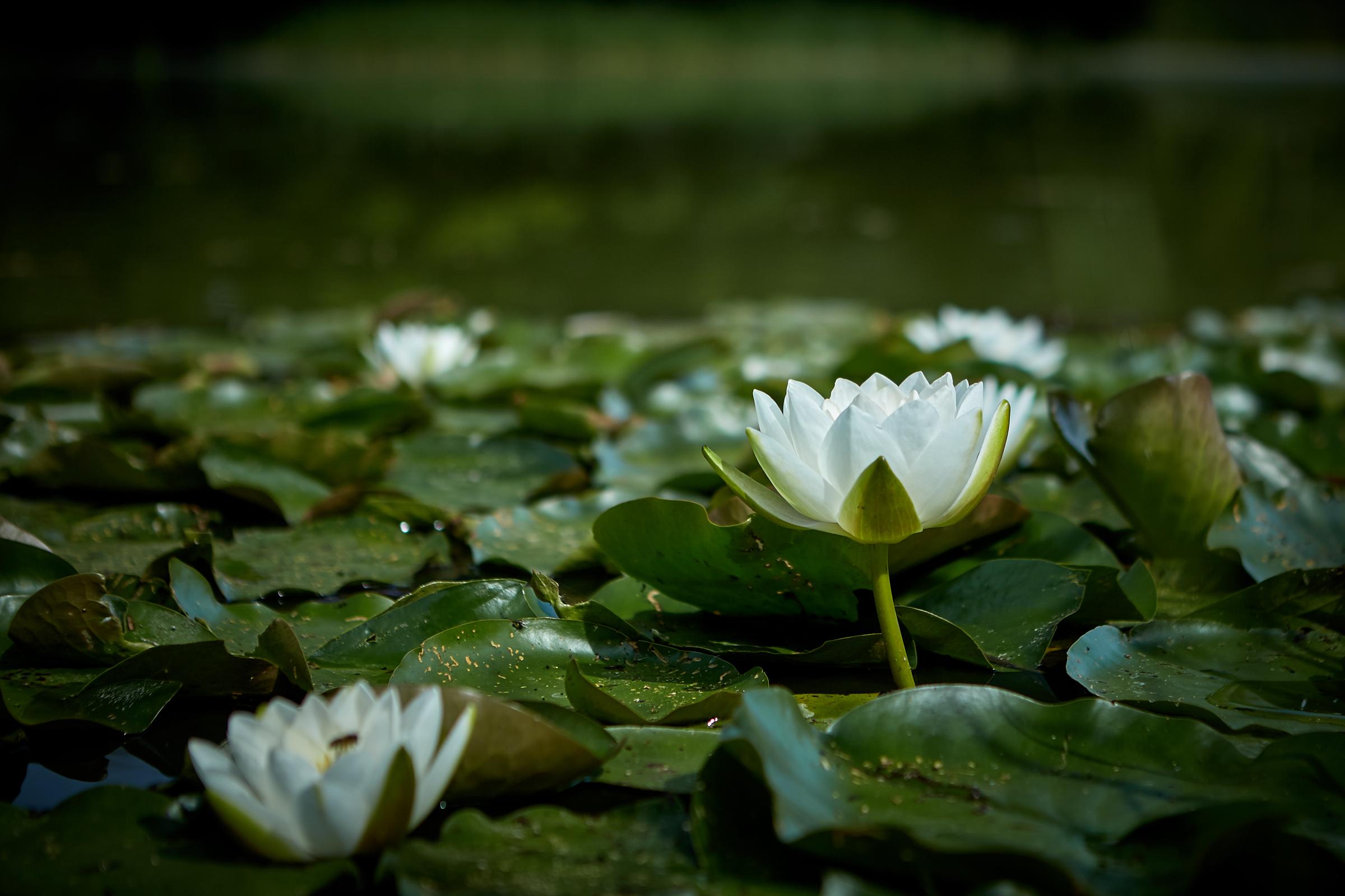 Wasserlilien im Wundersee
